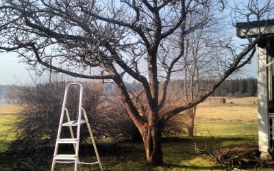 Barkympa ett gammalt äppelträd